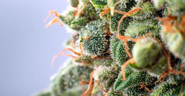 cbd-flowers-tricomas